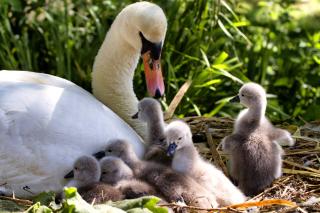 Swans and geese papel de parede para celular