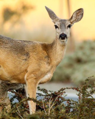 Wildlife Deer - Obrázkek zdarma pro Nokia X7