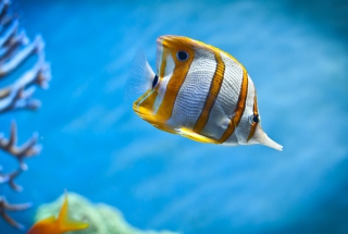 Copperband Butterfly Fish Wallpaper for Android, iPhone and iPad