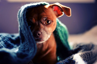 Free Puppy Under Scarf Picture for Android, iPhone and iPad