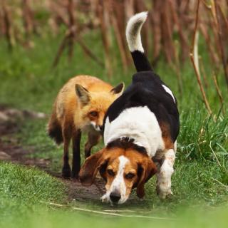 Hunting dog and Fox - Obrázkek zdarma pro iPad