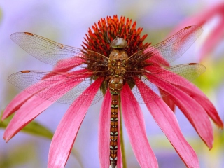 Free Dragonfly Picture for Android, iPhone and iPad