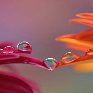 Morning Dew - Obrázkek zdarma pro iPad 2