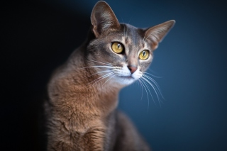 Brown Cat Wallpaper for Android, iPhone and iPad