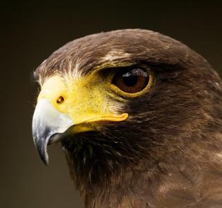 Eagle - Obrázkek zdarma pro 208x208