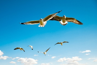 Pigeons Flying In Blue Sky Wallpaper for Android, iPhone and iPad