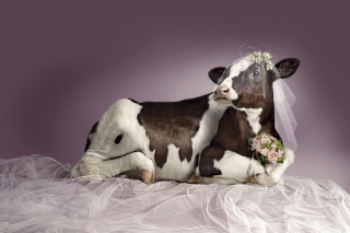 Bride Cow Background for Android, iPhone and iPad