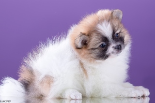 Free Spitz puppy Picture for Android, iPhone and iPad