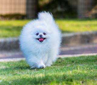 Pomeranian - Obrázkek zdarma pro iPad mini