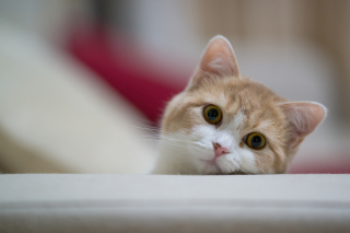 Curious Kitten Background for Android, iPhone and iPad