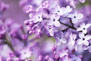 Spring Lilac Bloom Wallpaper for Android, iPhone and iPad