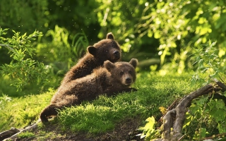 Two Baby Bears Wallpaper for Android, iPhone and iPad