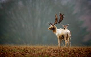 Deer Family Background for Desktop 1920x1080 Full HD