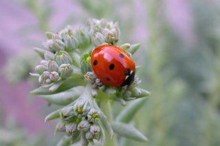 UK Ladybird Picture for Android, iPhone and iPad