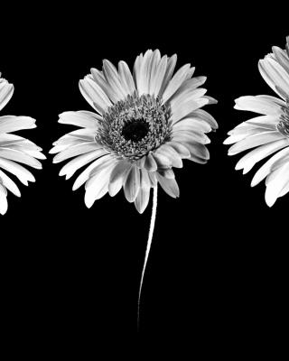 Gerbera Flowers - Obrázkek zdarma pro Nokia 5233