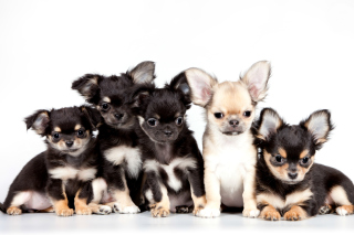 Chihuahua Puppies Background for Android, iPhone and iPad
