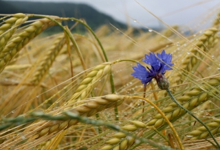 Wheat And Blue Flower Background for Android, iPhone and iPad
