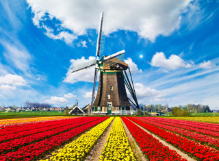 Tulips Field In Holland HD Background for Android, iPhone and iPad