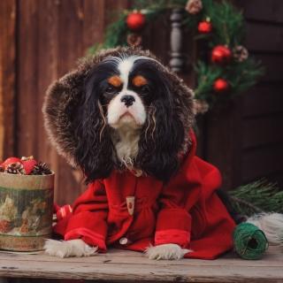 Dog Cavalier King Charles Spaniel in Christmas Costume - Obrázkek zdarma pro iPad