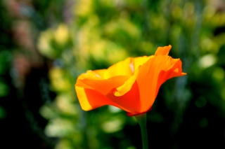 Orange Bokeh Flower Background for Android, iPhone and iPad
