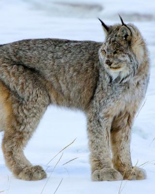 Canada Lynx - Obrázkek zdarma pro 132x176