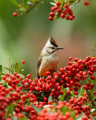 Bird in Pyracantha berries - Obrázkek zdarma pro 320x480