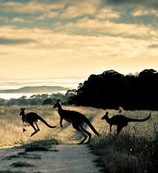 Kangaroo - Obrázkek zdarma pro iPad Air