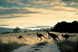 Kangaroo - Obrázkek zdarma pro Samsung Galaxy Tab 10.1