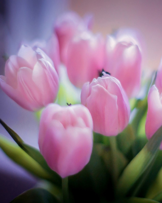 Tender Pink Tulips - Obrázkek zdarma pro Nokia Asha 309