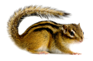 Free Chipmunk Picture for Android, iPhone and iPad