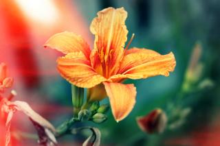 Orange Lily - Obrázkek zdarma pro Samsung Galaxy S5