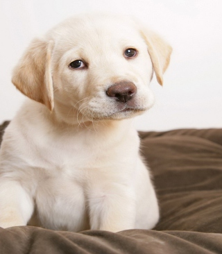 Labrador Retriever - Obrázkek zdarma pro Nokia Lumia 920T