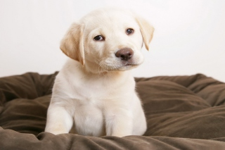 Labrador Retriever - Obrázkek zdarma pro Android 1200x1024