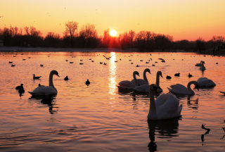 Free Swans On Lake At Sunset Picture for Android, iPhone and iPad