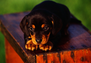 Free Cute Innocent Looking Puppy HD Picture for Android, iPhone and iPad