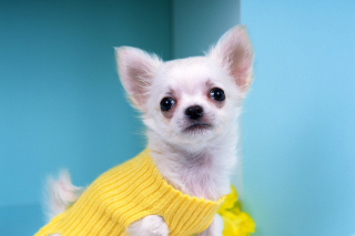 Chihuahua Dog Background for Android, iPhone and iPad