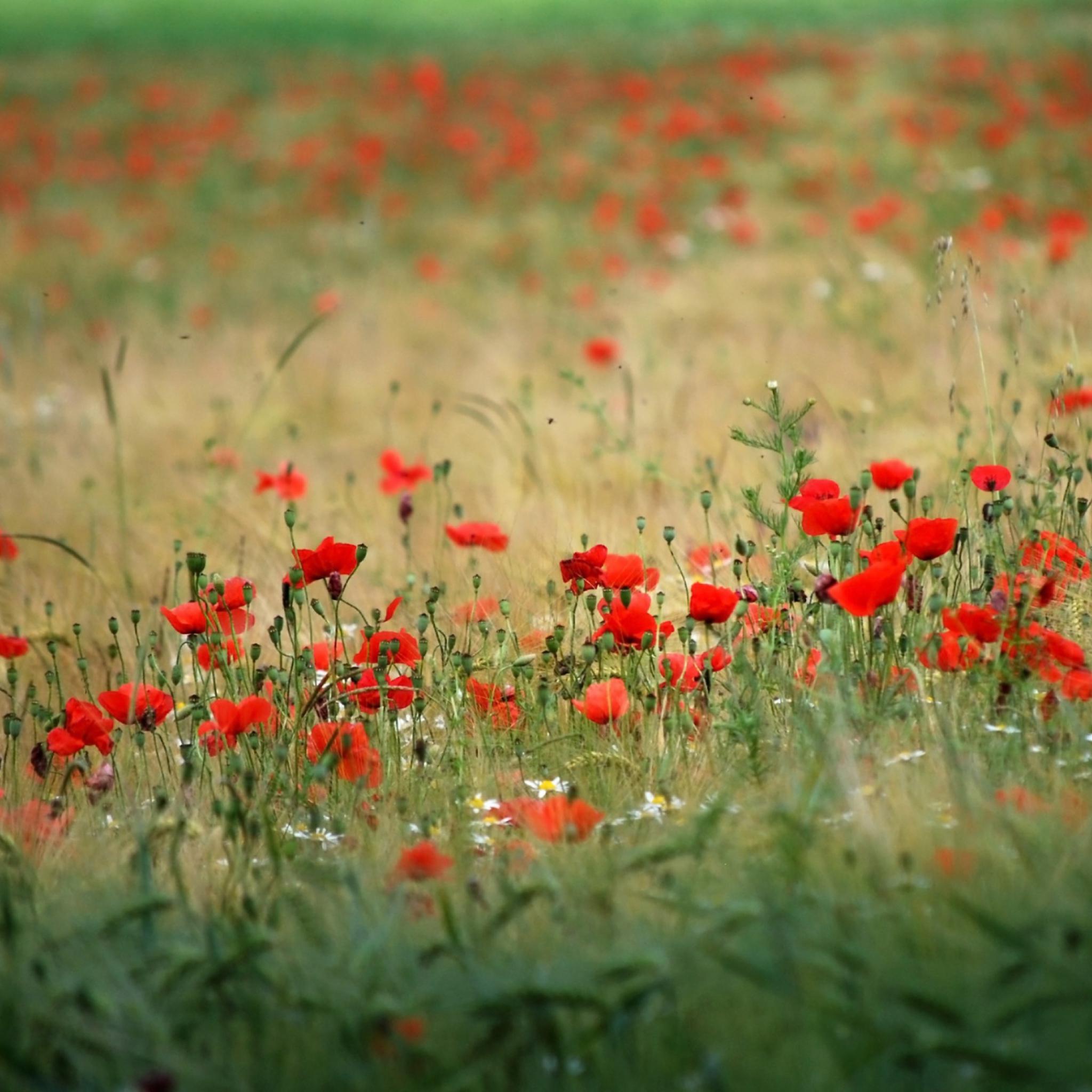 поле маки цветы  № 1877341 бесплатно