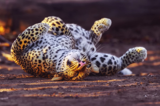 Free Leopard in Zoo Picture for Android, iPhone and iPad