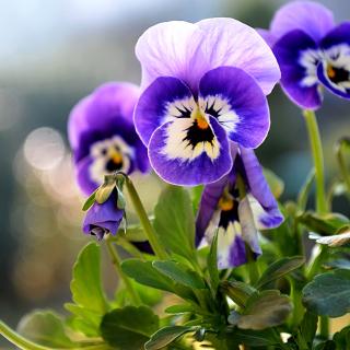 Pansy, Garden Flowers - Obrázkek zdarma pro 128x128