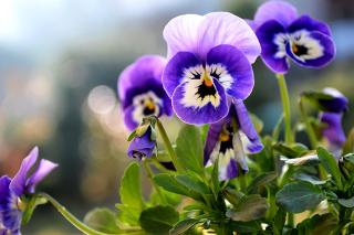 Pansy, Garden Flowers Background for Android, iPhone and iPad