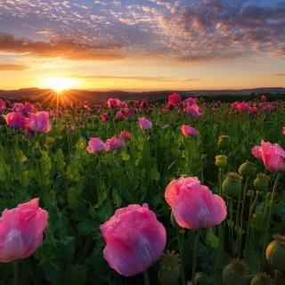 Poppies in Thuringia, Germany - Obrázkek zdarma pro 320x320