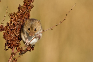 Free Harvest Mouse Picture for Android, iPhone and iPad