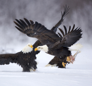Two Eagles In Snow - Obrázkek zdarma pro iPad 2