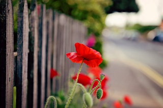Poppy In Front Of Fence Wallpaper for Android, iPhone and iPad