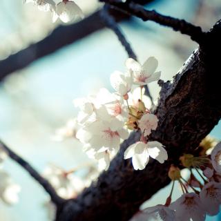 Bloom Tree - Obrázkek zdarma pro iPad