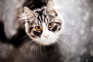 Cat With Orange Eyes Background for Android, iPhone and iPad