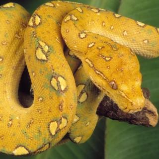 Yellow Snake - Obrázkek zdarma pro iPad