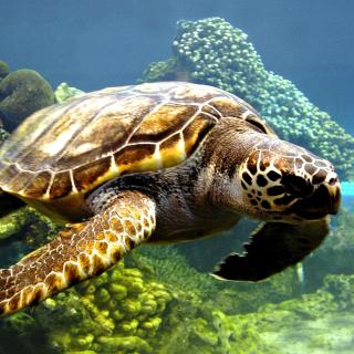 Turtle Snorkeling in Akumal, Mexico - Obrázkek zdarma pro iPad Air