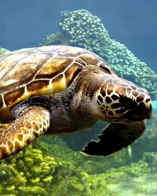 Turtle Snorkeling in Akumal, Mexico - Obrázkek zdarma pro Nokia C-5 5MP
