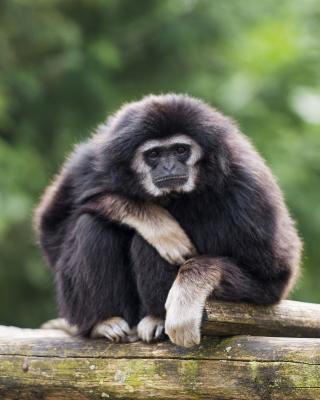 Gibbon Primate - Obrázkek zdarma pro 480x640